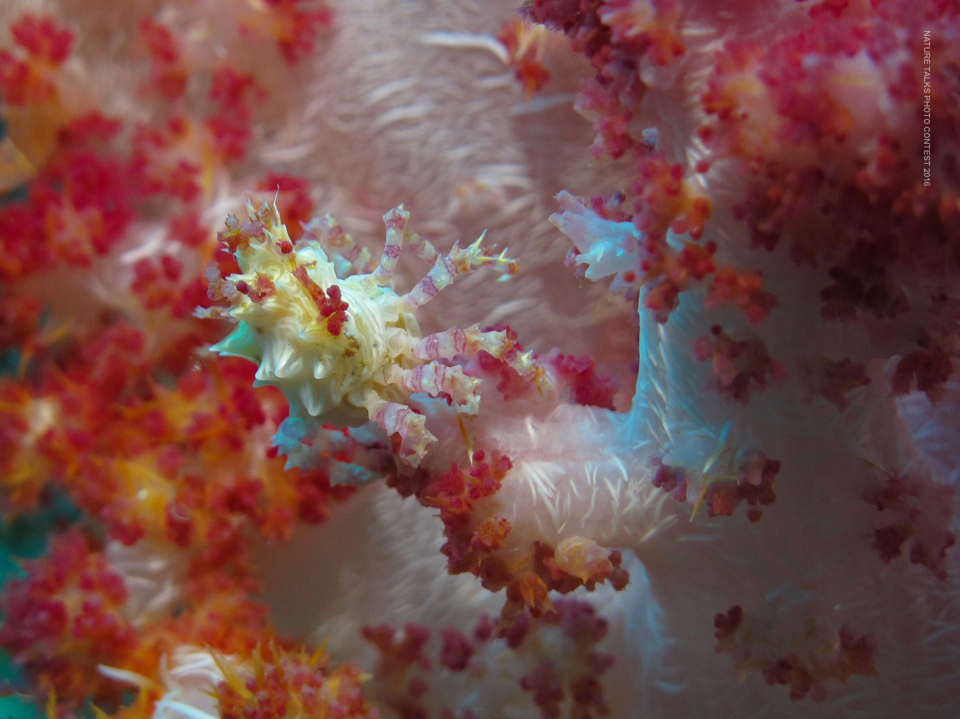 Candy Crab hiding on an anemone