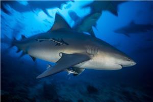 Carcharhinus leucas