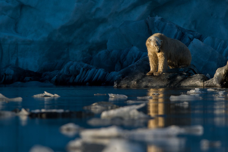 dreaming polar bear