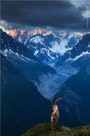 Ibex at sunrise