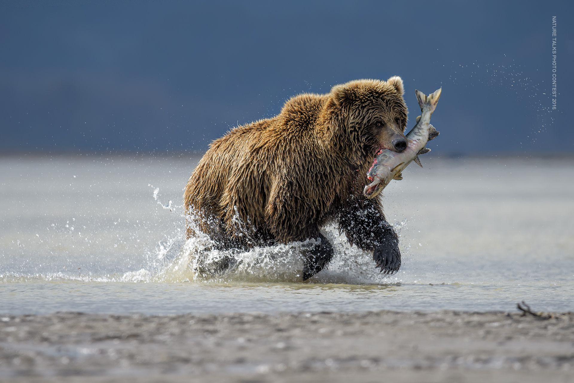 Hunting Bear
