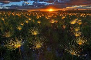 Paepalanthus Wildflower