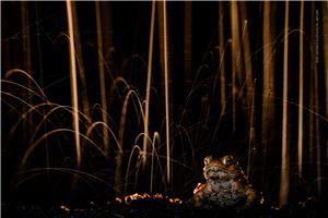 Common toad in rain