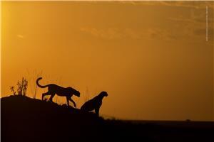 Silhoutte Cheetah