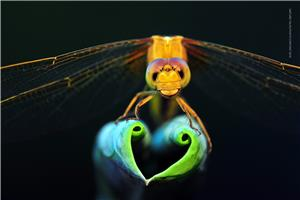 Dragonfly show love heart