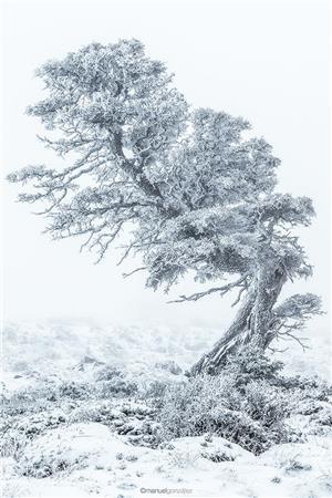 El pinsapo que quería ser bonsai