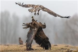 White tail eagle fight