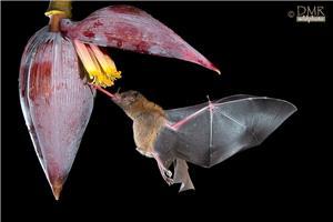 Long tongue bat