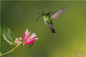 Brilliant green crowned hummingbird