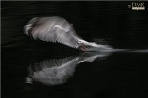 Slow motion Seagull reflections