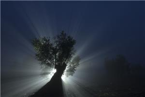 Olive tree in the fog