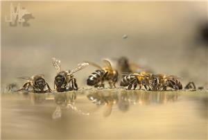 DRINKING BEES