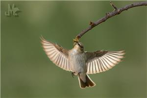 THE FLYCATCHER AND THE VASP