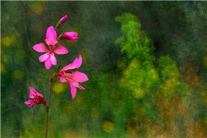 Gladiolus in the forest