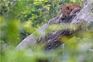 Leopardo, Yala NP
