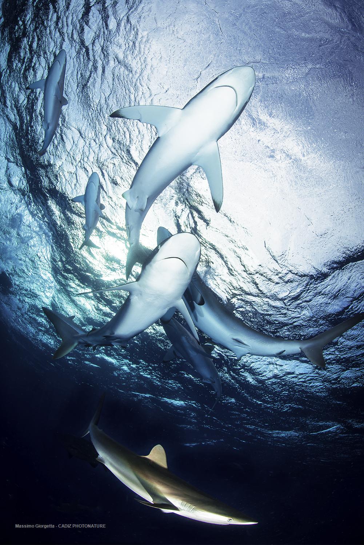 sharks player
