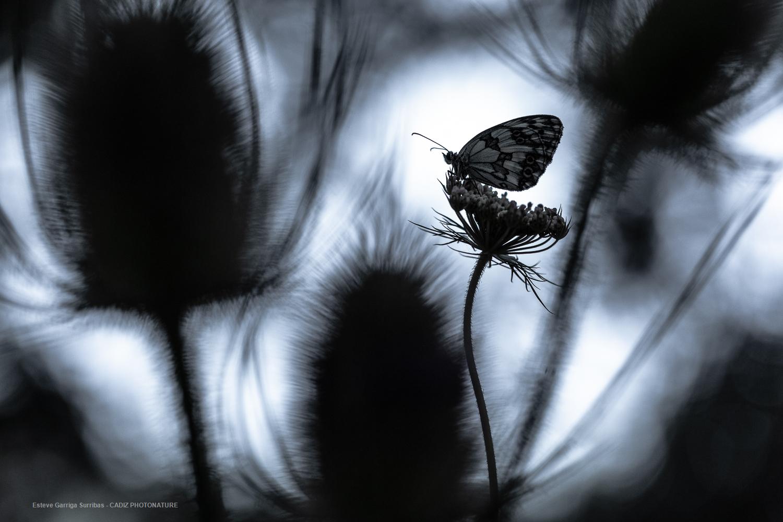 Mariposa en negro
