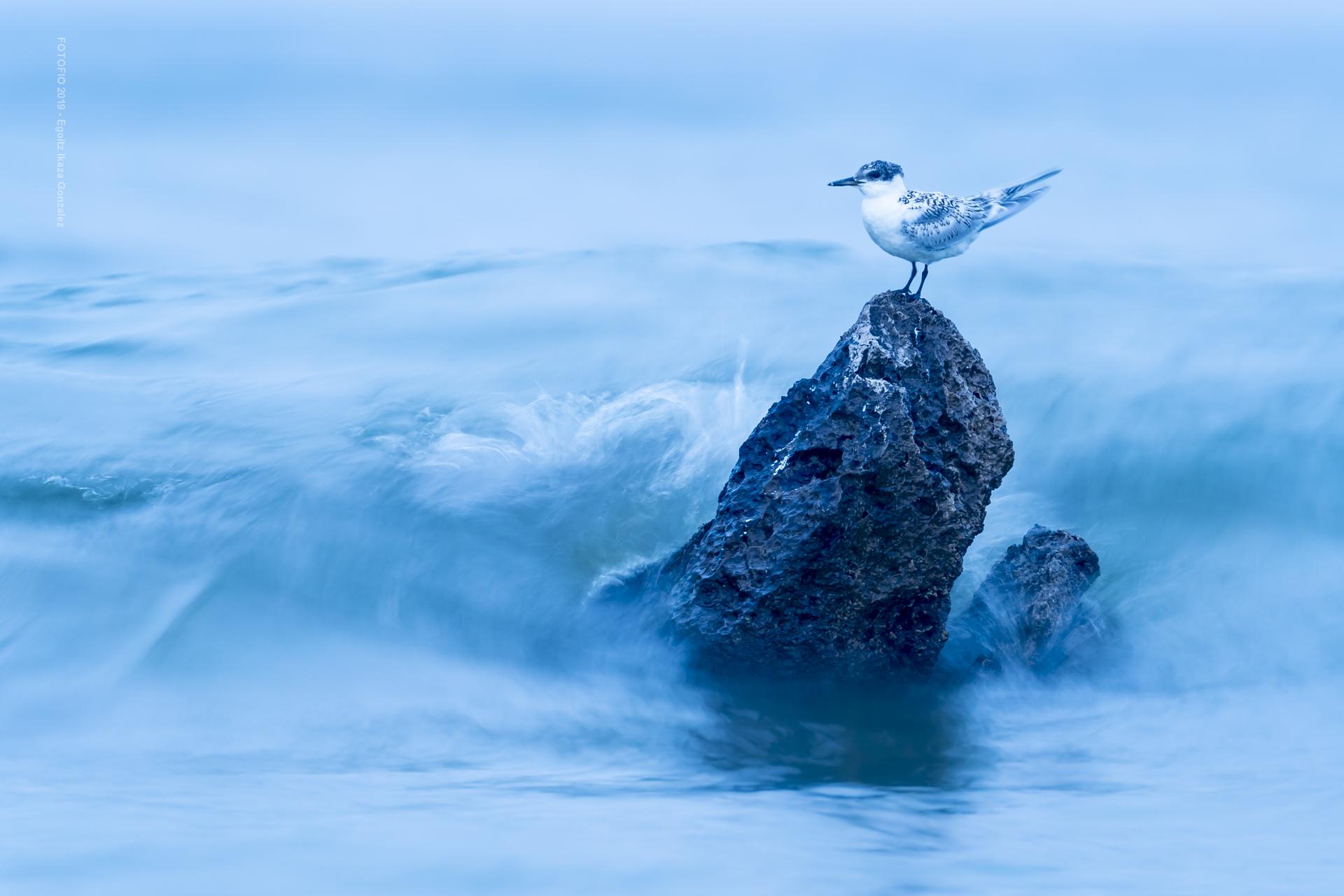 Golondrina de mar