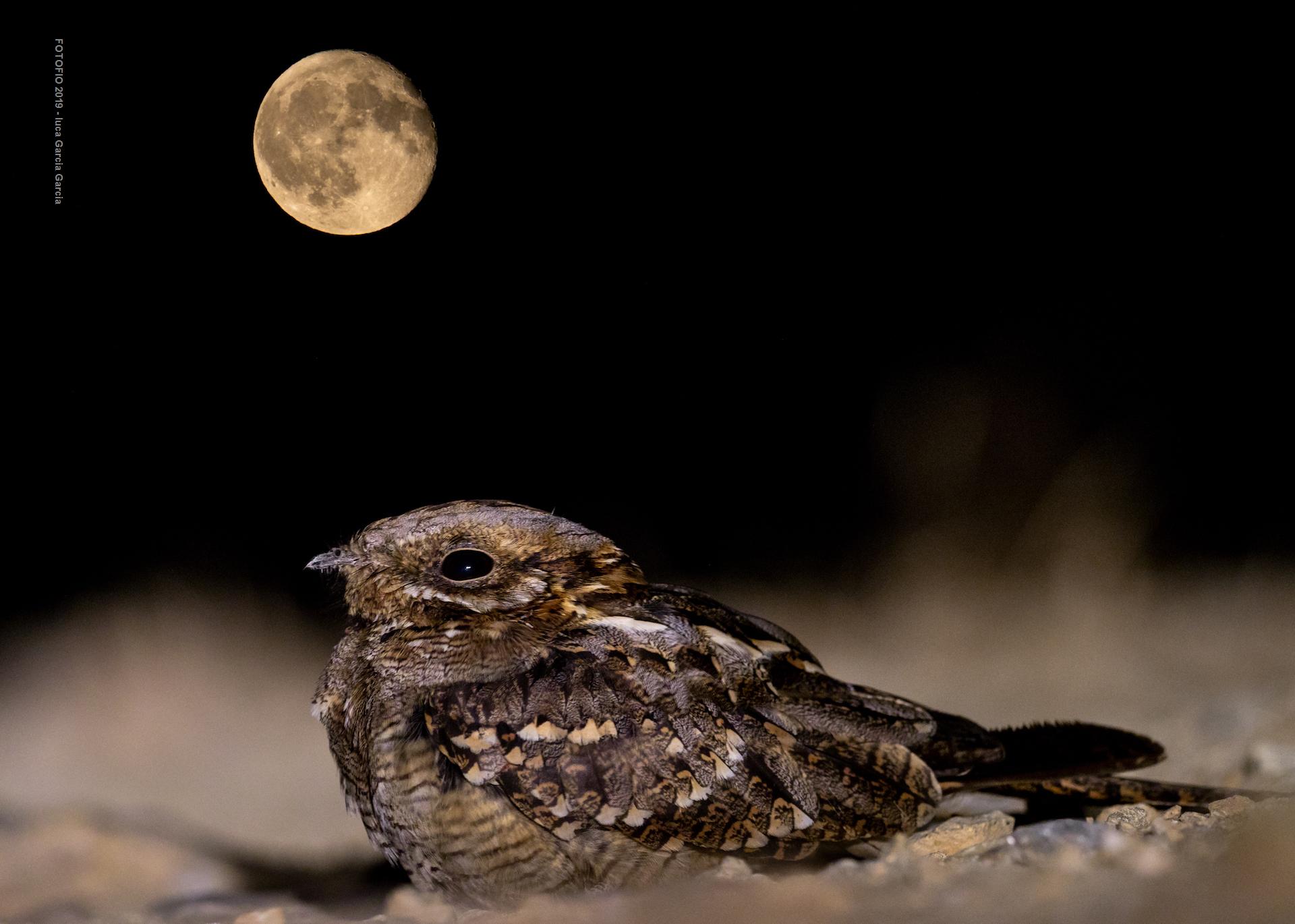 Aullador de Luna Llena