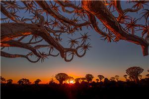 Kokerboom forest