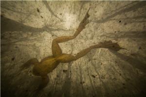 Vitruvian frog
