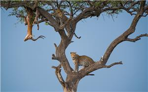 Leap of Leopards
