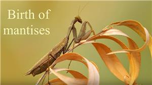 Birth of mantises