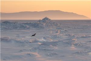 Sable on the frozen Baikal