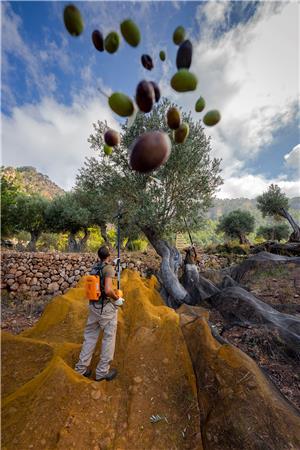 La collita de l'oliva